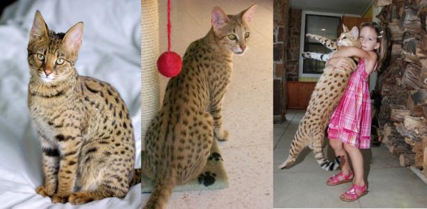 Top 10 Najdroższe Rasy Kotów Luxlux
